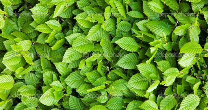 A background of green leaves